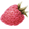 An illustration of a raspberry